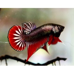 BETTA IMBELLIS BRONCE PACIFICO