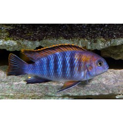 PSEUDOTROPHEUS TROPHEOPS CHILUMBA BLUE